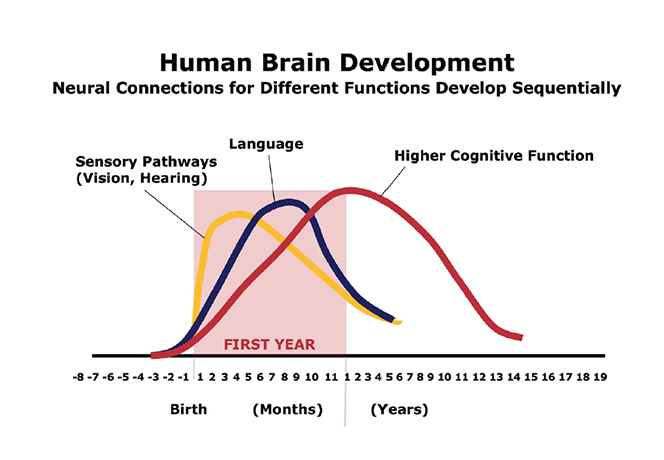 Human Brain Development